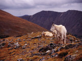 Front Range Mountain Goats on Gray&#39;s Peak in the Rockies