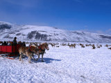 Sleigh Rides Take Tourists Past Herds of Elk at the National Elk Refuge