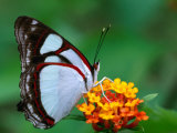 Nymphalid Butterfly  Native to the Rainforests of Costa Rica