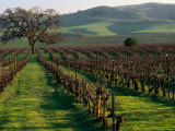 Late Winter Vineyard  Livermore Valley
