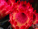 Close-Up of a Protea  Growing on the Slopes of Haleakala National Park