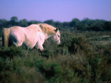 Wild White Horse in the Camargue Nature Park