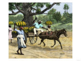 Ripe Bananas Brought to the Wharf  Annatto Bay  Jamaica  1880s