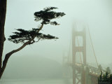 Golden Gate Bridge in Morning Fog with Cypress Tree