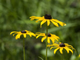 Black-Eyed Susan Wildflowers  Maine