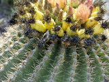Barrel Cactus Flowers and Fruit  Socorro County  New Mexico