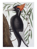 Large White Billed Woodpecker  Natural History of Carolina  Florida and the Bahamas Islands  1731