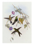 Hummingbirds  Sporadinus Elegans  Family of Humming-Birds