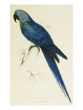 Hyacinthe Maccaw  Macrocercus Hyacinthanus  Illustration of the Family of Psittacidae  or Parrots