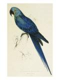 Hyacinthe Maccaw  Macrocercus Hyacinthanus  Illustration of the Family of Psittacidae  or Parrots