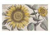 Giant Sunflower  the Hortus Floridus  Hand-Coloured Plate  c1614