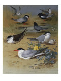 Various Terns  1915