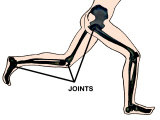 Joints Involved in Running Hip Knee Ankle