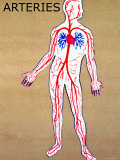 Body Arteries Clear Pulmonary and Systemic