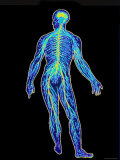 Whole Body Nervous System