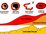 Menstrual Cycle Ovum Fsh Lh Estrogen Follicle