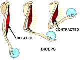 Biceps Muscle Movement Arm Lifting