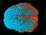 Color Brain Blue  Red  Orange