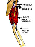 Movement of Striated Muscle