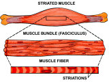 Make-Up of Striated Muscle