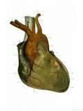 Anterior View Heart and Great Vessels