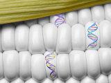 DNA Corn Genetic Engineer Yellow White Food