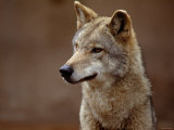 Close Up of Coyote in the Wild