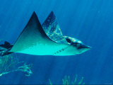 Underwater Picture of a Swimming Sting Ray Fish