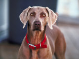 Close Up of Domesticated Weimaraner Dog with Red Collar