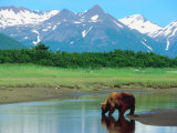 Grizzly Bear Drinking from Stream in Valley Amongst Snow-Capped Mountains