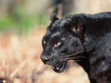 Close Up of Black Panther in Wild
