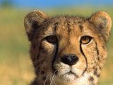 Close Up of Cheetah in the Wild