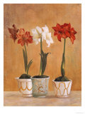 Amaryllis in Pots