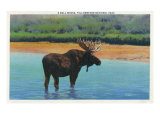View of a Bull Moose Wading in Water  Yellowstone National Park  Wyoming