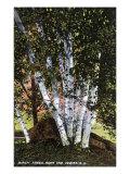 Lake Winnipesaukee  New Hampshire  View of Birch Trees near the Weirs