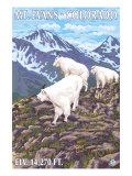 Mount Evans  Colorado  Mountain Goat Family
