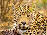 Leopard Profile at Africat Project  Namibia