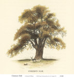 Common Oak