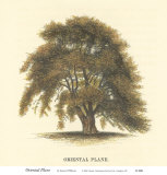 Oriental Plane