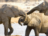 African Elephants at Halali Resort  Namibia