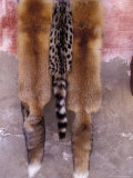 Rare Fox and Exotic Cat Skins in Market  Morocco
