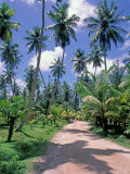 Palm Tree Lined Road of L&#39;Union Estate Plantation  Seychelles