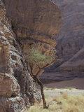 Acacia Spinosa Plant  Sahara