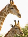 Watchful Giraffes at Namutoni Resort  Namibia