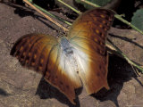 Detail of Butterfly Wings  Gombe National Park  Tanzania