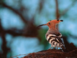 Common Hoopoe in Bandhavgarh National Park  India