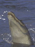 Saltwater Crocodile in Adelaide River  Northern Territory  Australia