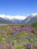 Lupine and the Main Divide  Arthur's Pass National Park  South Island  New Zealand