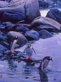 Gentoo Penguin  Antarctica