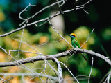 Green Bee-eater in Bandhavgarh National Park  India